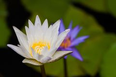 A white lotus show a yellow carpel with a blur violet lotus and leaf in back ground. A white lotus or waterlily show a yellow carpel with a blur violet lotus and Royalty Free Stock Photo