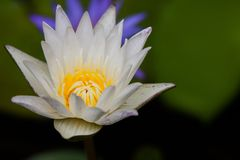 A white lotus show a yellow carpel with a blur violet lotus and leaf in back ground. A white lotus or waterlily show a yellow carpel with a blur violet lotus and Stock Photos