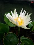 White lotus. In swap Stock Photography