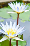 White lotus Royalty Free Stock Images