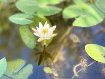 The white lotus is used for offering monks. Or used to decorate in a vase. (photos) royalty free stock photo