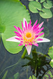 White lotus and water Royalty Free Stock Photos