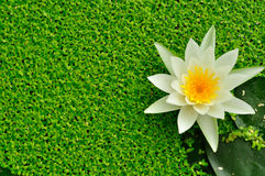 White lotus in the water has the background is green , Royalty Free Stock Photo