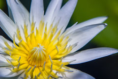 White Lotus Water Lilly pollen Royalty Free Stock Images