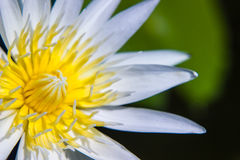 White Lotus Water Lilly pollen Stock Photography