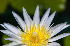 White Lotus Water Lilly pollen Stock Image
