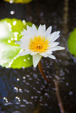White lotus or water lily Royalty Free Stock Images