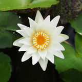 White lotus (water lily) blooming Royalty Free Stock Image