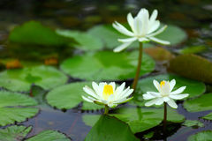 White lotus. / water lily in detail Royalty Free Stock Photo