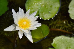 White lotus water lily flower bloom on pool Royalty Free Stock Image