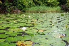White Lotus waterlily Royalty Free Stock Photography