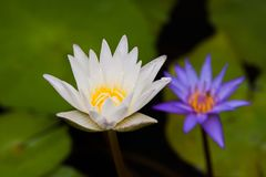 A white lotus show a yellow carpel with a blur violet lotus and leaf in back ground. A white lotus or waterlily show a yellow carpel with a blur violet lotus and Royalty Free Stock Photos