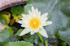 White lotus, White flower. Royalty Free Stock Photography
