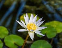White lotus or white water lily Stock Image