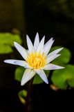 White lotus or white water lily Royalty Free Stock Photo