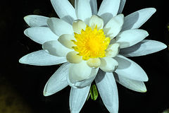White Lotus Yellow Anthers. White Lotus flower with yellow anthers, dark background Stock Images