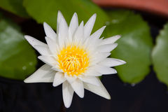 White lotus with yellow carpel in pond Royalty Free Stock Images
