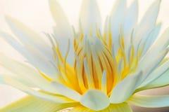 White Lotus yellow pollen Stock Images