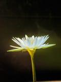 White Lotus yellow pollen Stock Image