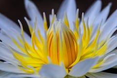 White Lotus yellow pollen Royalty Free Stock Photos