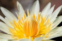 White Lotus yellow pollen Stock Photography