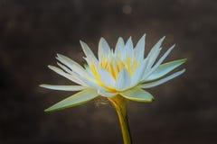 White Lotus yellow pollen Royalty Free Stock Photography