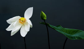 White Lotus. And yellow pollen  ,green burgeon and green leaf are on Black background Stock Photos