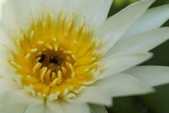 White Lotus, yellow Stamen with bee Royalty Free Stock Image