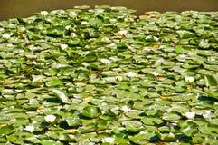 White lotuses on the pond Stock Photos