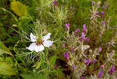 White love-in-a-mist flower with frondy foliage. Grows next to butterfly lavender in a garden Royalty Free Stock Photography