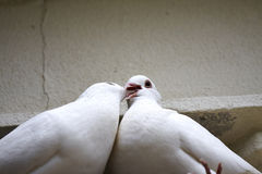 White Lover pigeons Stock Photos