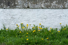 White low wall with spring common dandelions. Taraxacum officinale. Stone fence on a historic bridge across a stream. Background with beautiful yellow flowers stock images
