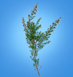 White lucky heather over blue - wild flower Stock Photography