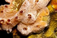 White lumpy encrusting sponge Stock Photography