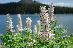 White Lupin with Purple Tips in front of Mountain Lake Stock Images