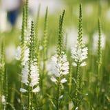 White Lupine royalty free stock image