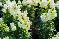 White lupine flower Stock Image