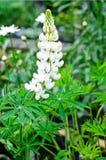 White Lupine flower (Lupinus polyphyllus). Lupinus polyphyllus- lupine plant with white flowers royalty free stock image