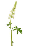 White lupinus flower Stock Image