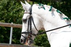 White Lusitano Horse. Muzzle of a Lusitano Horse, at Barockpferdetag in Aeurgental, Switzerland stock image