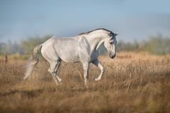 White lusitano horse run. In autumn field royalty free stock images