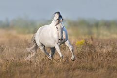 White lusitano horse run. In autumn field stock photo