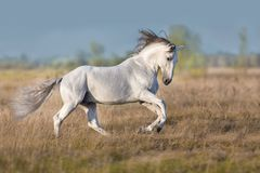 White lusitano horse run gallop. White lusitano horse run in autumn field stock photography