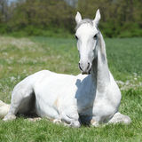 White lying horse. White horse lying on green grass in spring Royalty Free Stock Photos