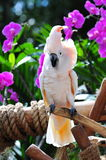 White macaw perched Stock Images
