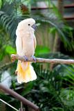 White Macaw Royalty Free Stock Photos