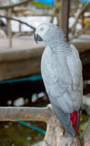 White Macaws ,white parrot Stock Images