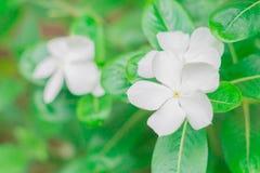 White Madagascar periwinkle, Catharanthus roseus,Vinca flower Stock Photo