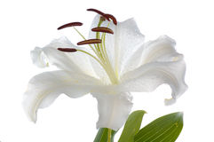 White madonna lily Stock Photos