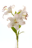White madonna lily Royalty Free Stock Image